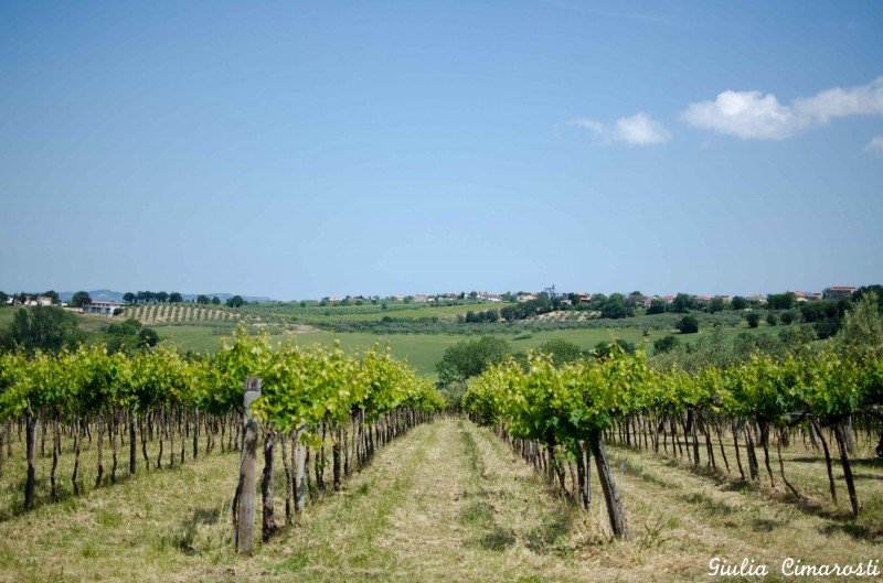 The vineyards of Abruzzo