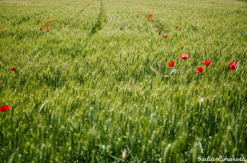 Poppy in the fields