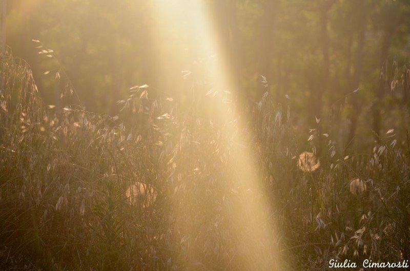 Dandelions in the sunset light