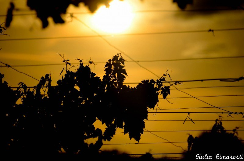 Grapevine leaves at sunset, Abruzzo