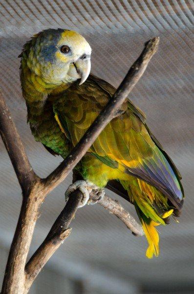 The national bird of SVG: Amazona Guildingii