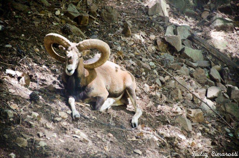 A mufflon staring back at me in Stavros Tis Psokkas