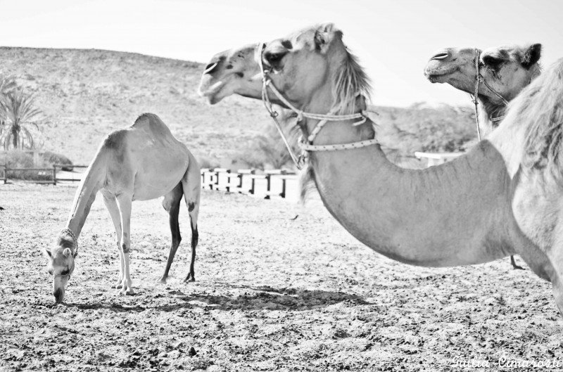 Camels at the Negev Camel Ranch