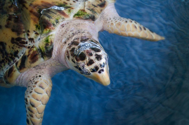 A sea turtle at the Bequia Old Hegg turtle sanctuary