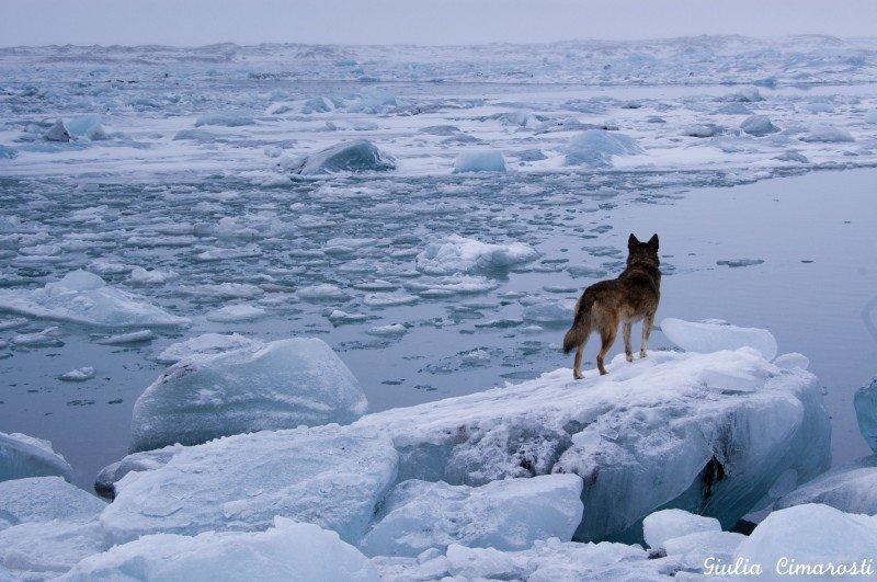 Balto, Ronni's dog, overlooking the lagoon of Jökulsárlón