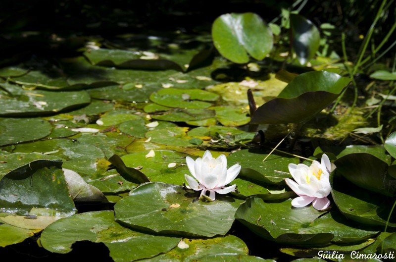 Water lilies in a pond on the way