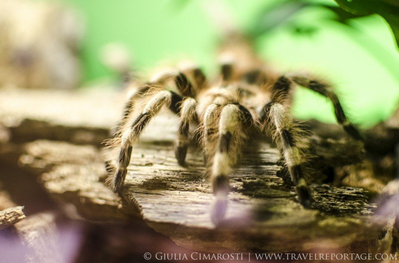 One of the tarantulas at the Insectarium of Montreal