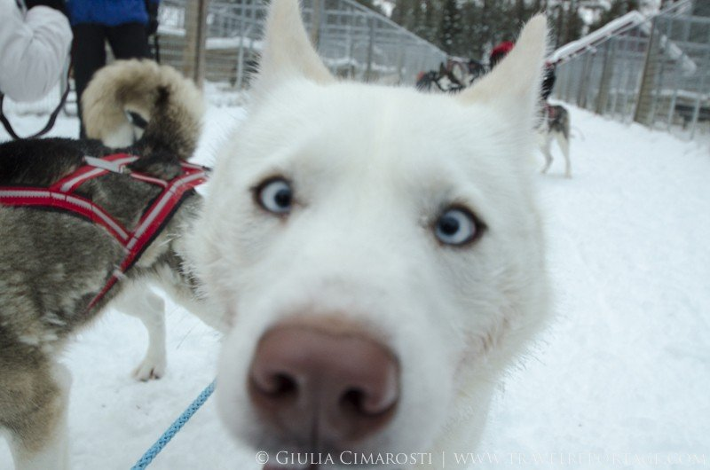 Curious sled dog