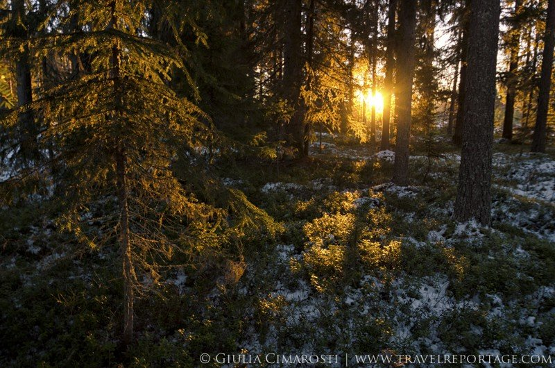 The golden light of winter in the Swedish Lapland