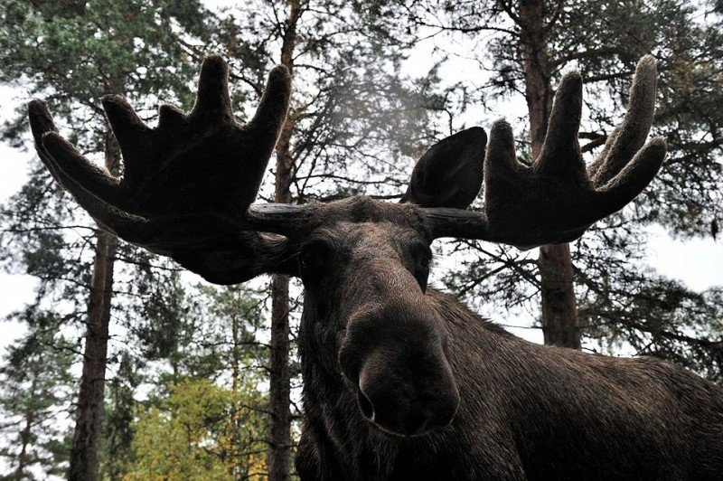 A Wild Elk in Swedish Lapland. Photo © Edoardo Miola