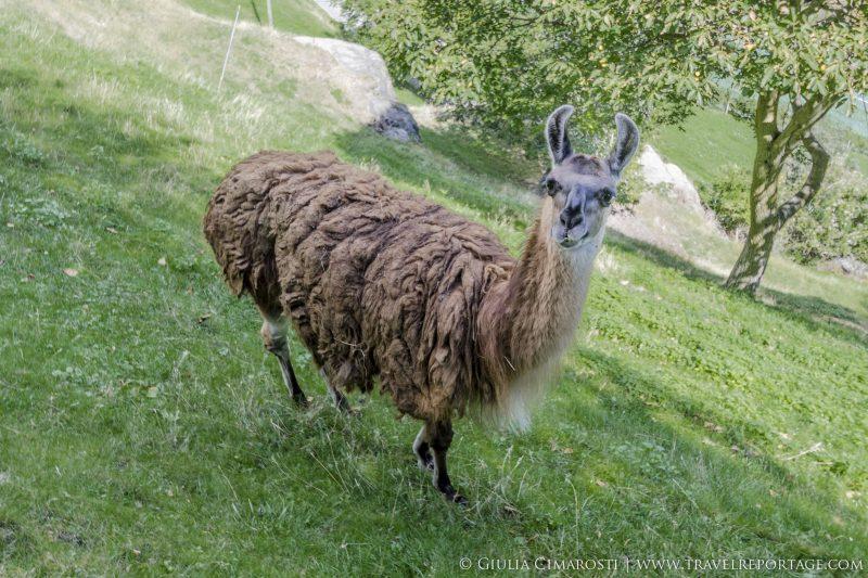 A Lama in Vinschgau