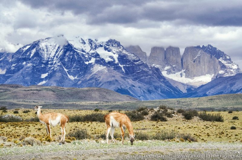 Guanacos and the Torres on the background