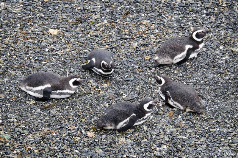 Penguins on the Beagle Channel
