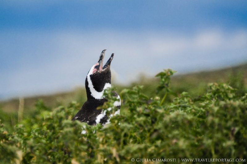 A penguin in Punta Tombo