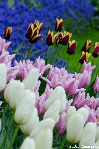 Flowers in Keukenhof