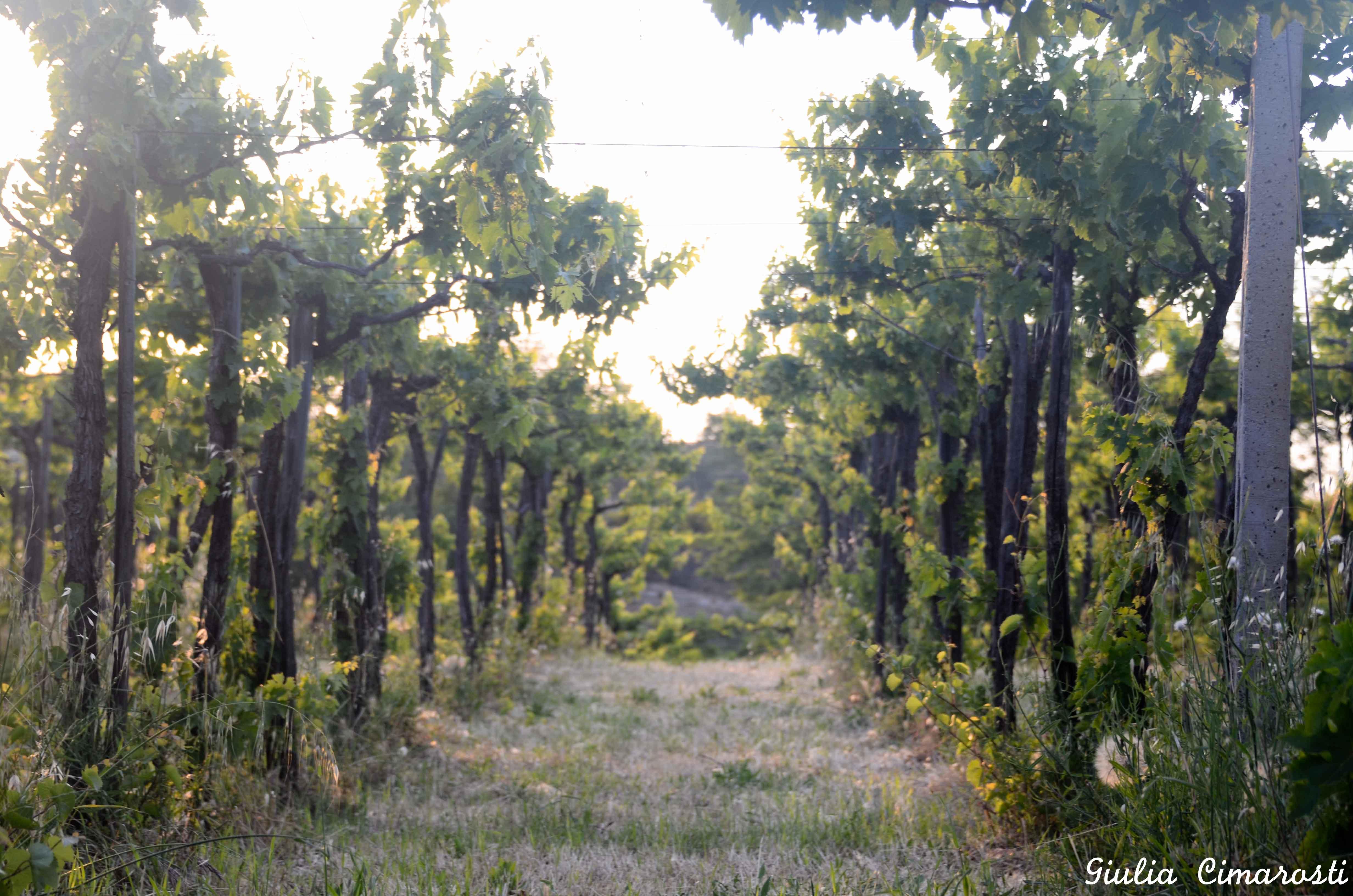 Abruzzo vineyards at sunset