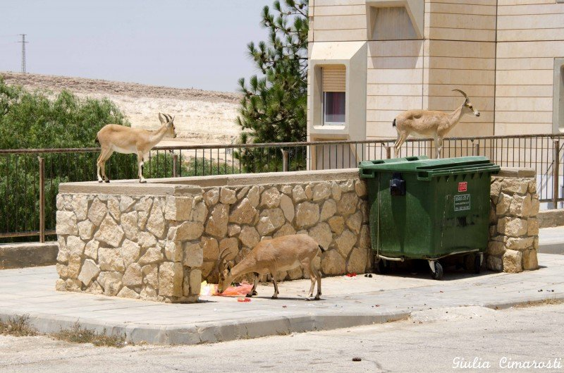 Deers in Mitzpe Ramon