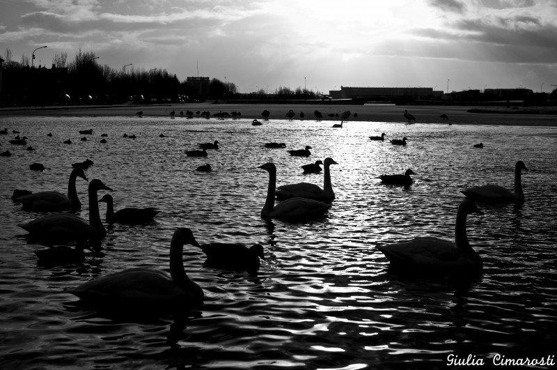 Tjörnin - swans