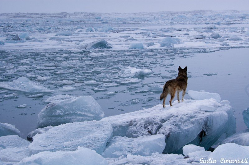 Balto the dog... he likes Jökulsárlón!