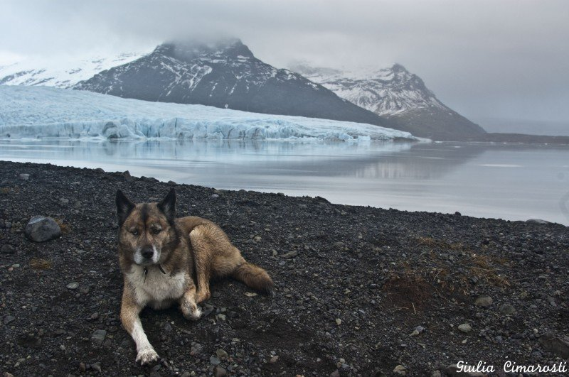 Balto the dog posing in Fjallsárlón