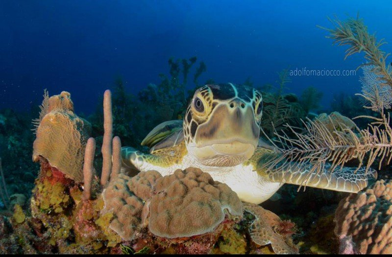 Underwater beauty of Roatan - photo © Adolfo Maciocco