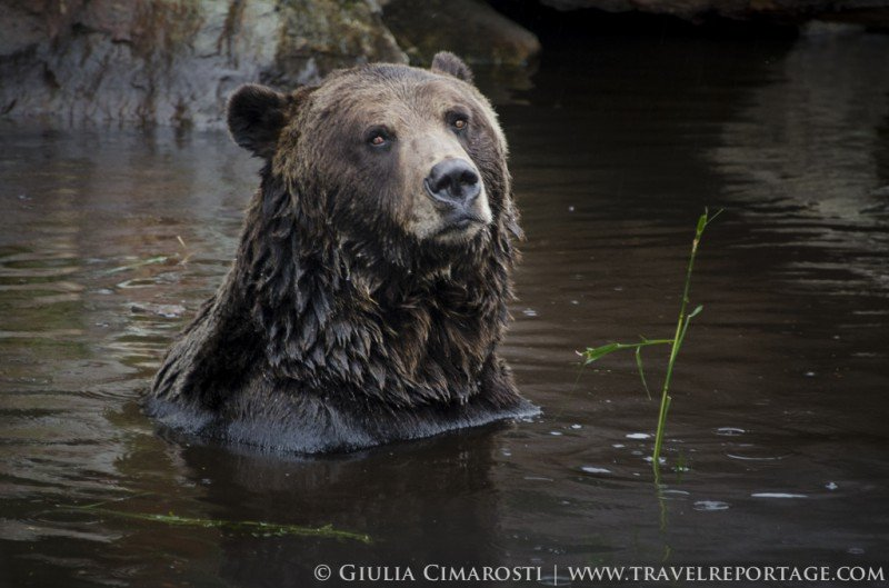 One of the Grizzly bears on top of Grouse Mountain