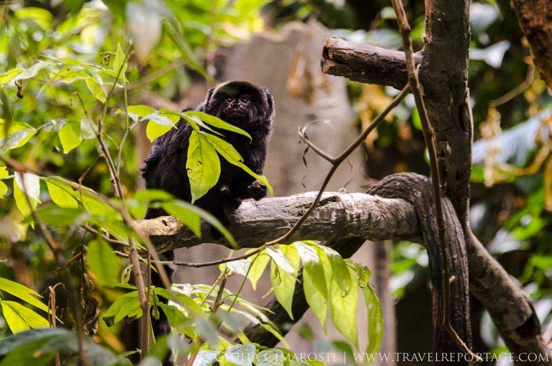 Callimico monkey