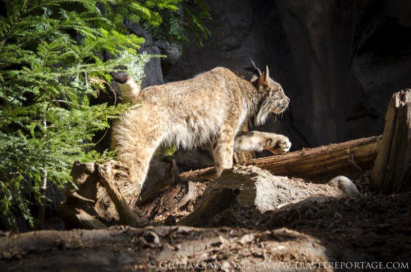 My first Canada Lynx!