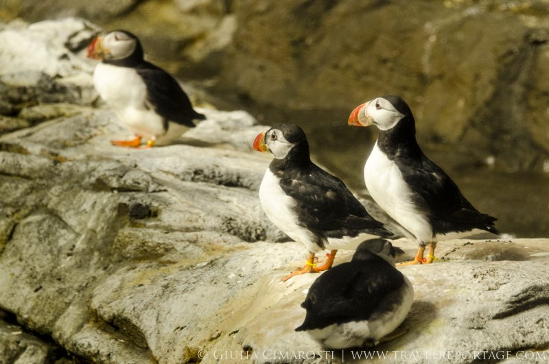 Puffins, so fabulous!