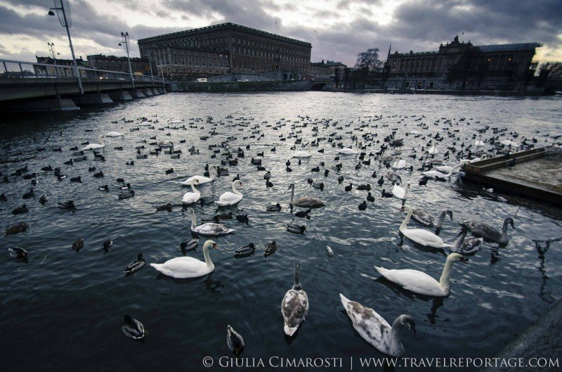 Stockholm swans