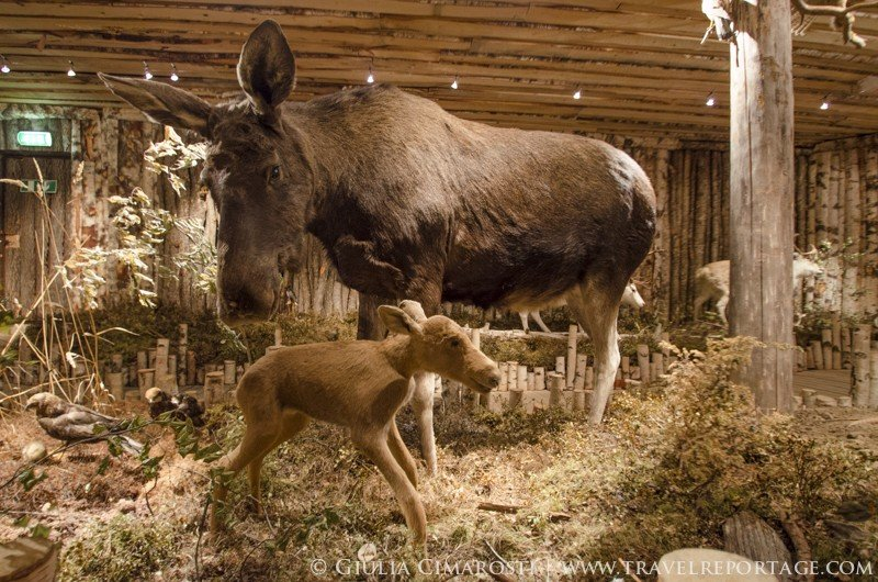 Mom and baby moose, killed in a tragic accident... baby was unborn :(