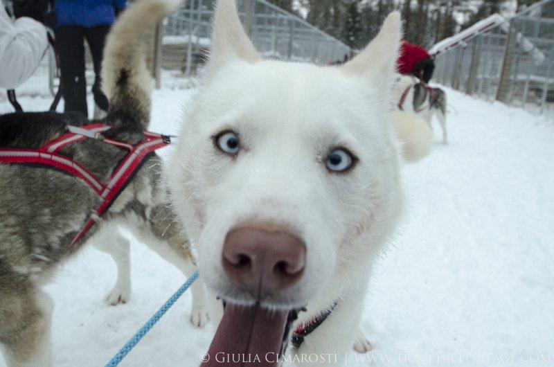 Curious sled dog