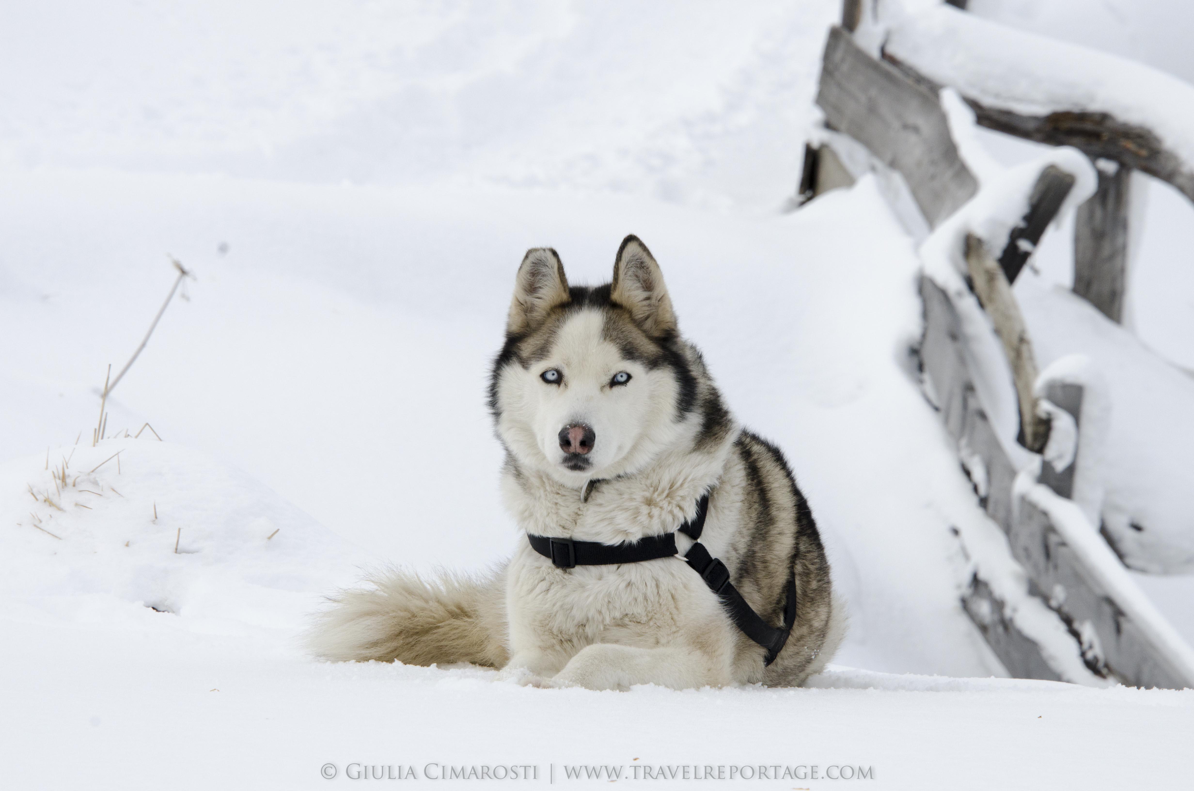 Nanuk the dog