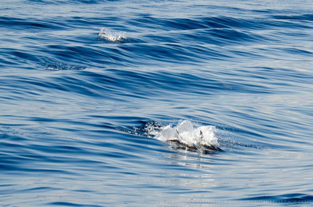 Stenellas in Genova Whale Watching