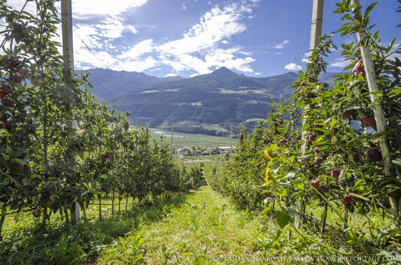 Apple fields in Vinschgau