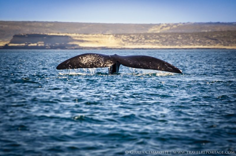 My first whale in front of Puerto Piramides, Valdés Peninsula