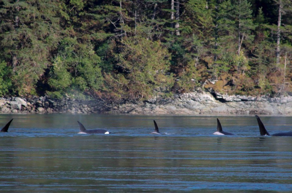 Orcas in the Inside Passage, Alaska