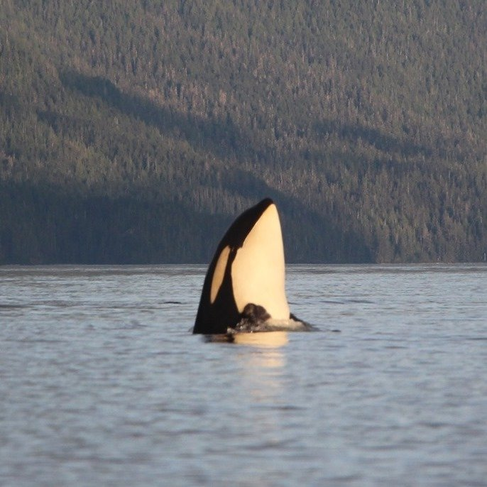 Wonderful Orca of British Columbia